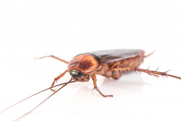 cucarachas en Sevilla