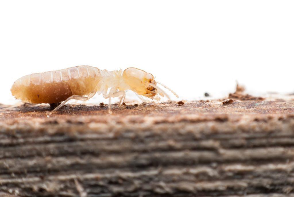 Conoce las termitas y cómo afectan a la madera
